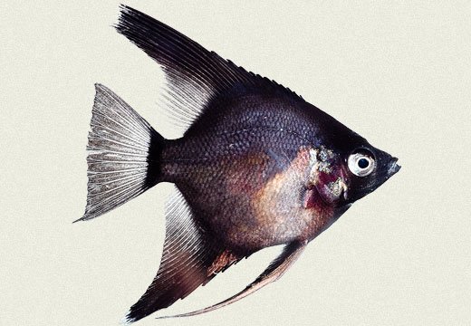 Angel Fish Blushing Blue