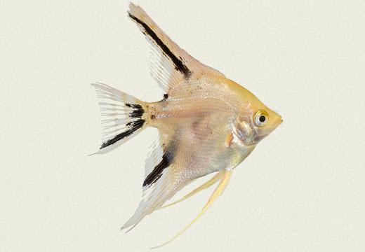 Angel Fish Gold Panda