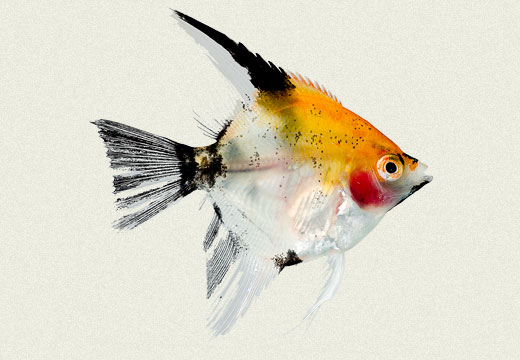 Angel Fish Koi Panda Yellow Head