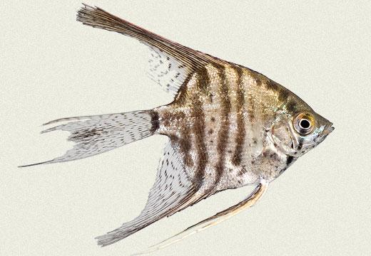 Angel Fish Leopard Smoked