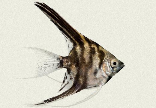 Angel Fish Marble Dark