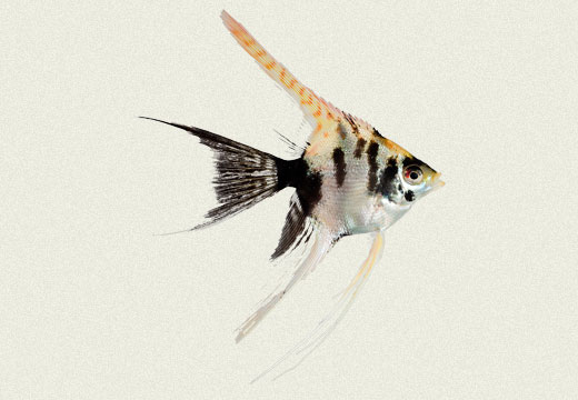 Angel Fish Smoked Koi Panda Yellow Head