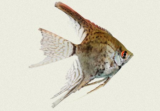 Angel Fish Smoked Leopard Light