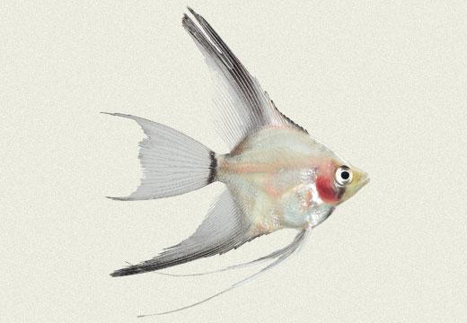 Angel Fish Smoked