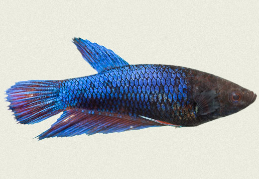 Betta Female Siamese Fighter Royal Blue