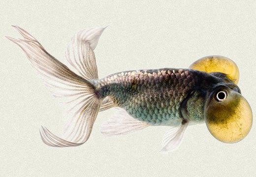 Blue Bubble Eye Fancy Goldfish