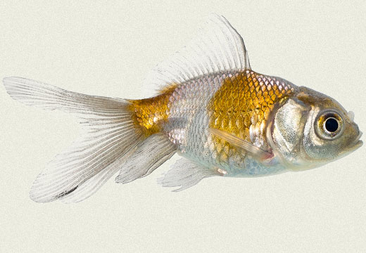 Blue Oranda Fancy Goldfish