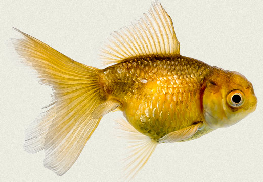Bronze Oranda Fancy Goldfish