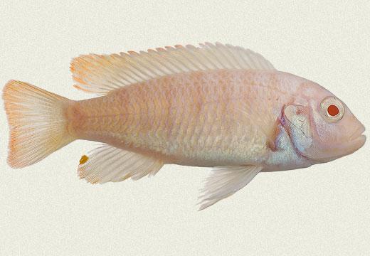 Caeruleus Albino Cichlid