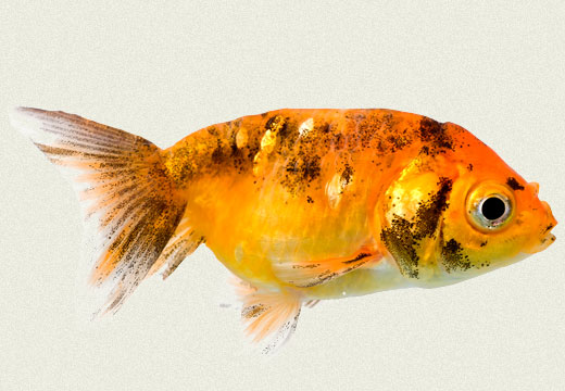 Calico Ranchu Fancy Goldfish