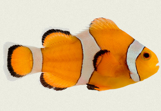 False Percula Clownfish Marine Fish