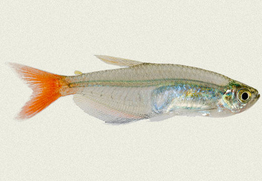 Glass Bloodfin Tetra