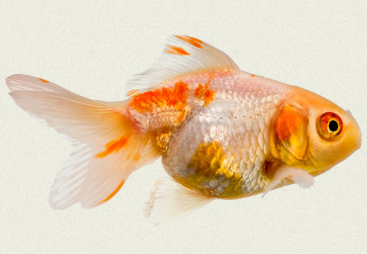 Gold & White Oranda Fancy Goldfish