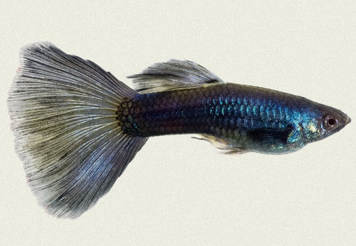 Guppy Dark Blue