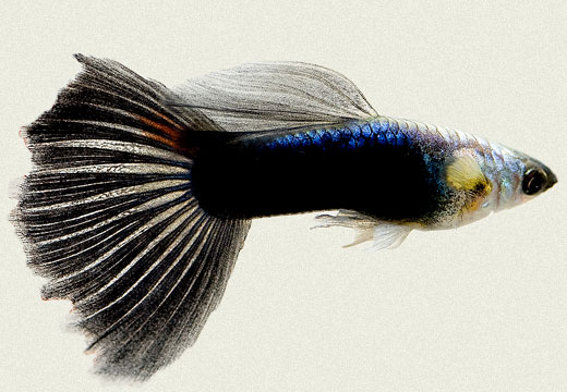 Guppy Moscow Blue