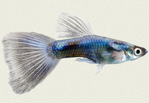 Guppy Neon Blue