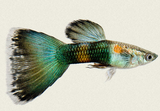 Guppy Rainbow Green