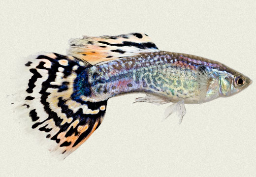 Guppy Red Leopard Tail