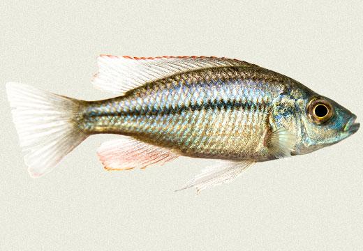 Haplochromis Compressiceps Cichlid