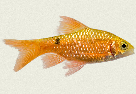 Long Fin Rosy Barb Gold
