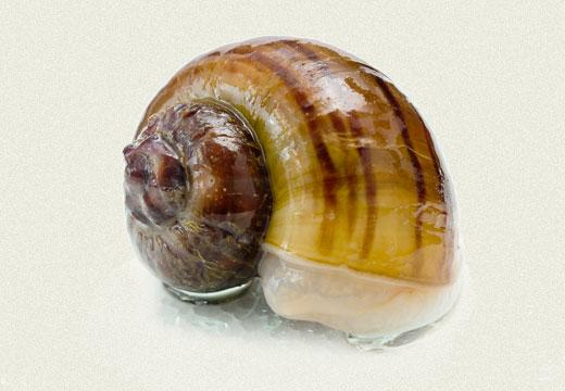 Marisa Snail Rams Horn Snail