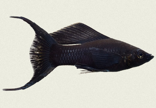 Molly Lyretail Sailfin Black