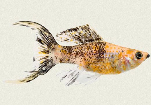 Molly Lyretail Sailfin Gold Dust