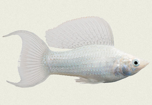 Molly Lyretail Sailfin Silver