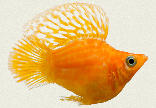 Molly Sailfin Balloon Gold
