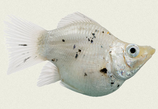 Molly Sailfin Balloon White