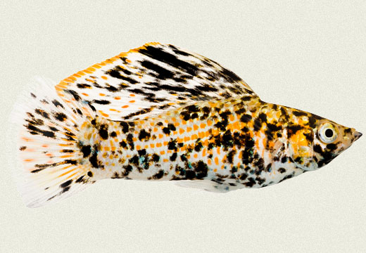 Molly Sailfin Copper Marble | Tropicali | 520 x 360 jpeg 56kB