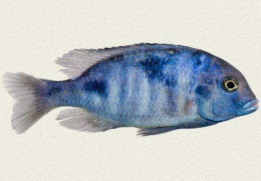 Moori, Blue Hump Head, Blue Dolphin Cichlid