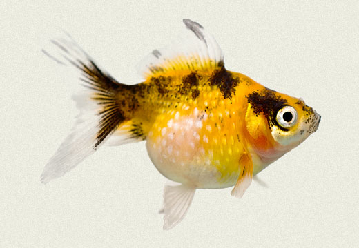 Pearlscale Calico Fancy Goldfish