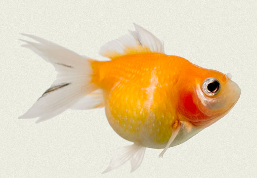 Pearlscale Red Fancy Goldfish