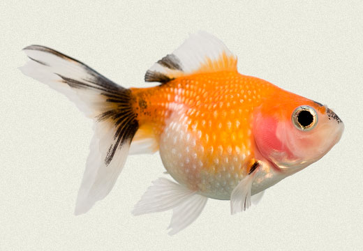 Fancy Goldfish Fancy goldfish