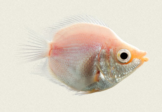Pink Balloon Kissing Gourami
