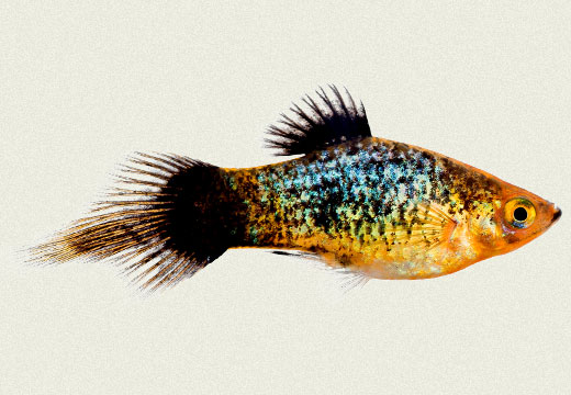 Platy Rainbow Pintail