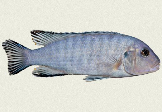 Powder Blue Cichlid, Socolofi Cichlid