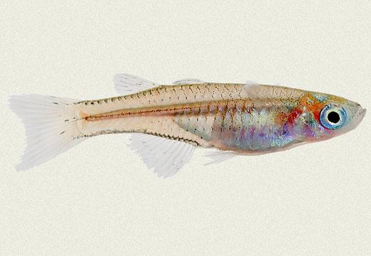 Pseudomugil Gertrudae's Rainbowfish