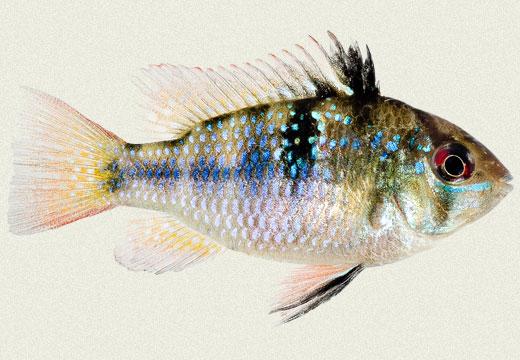 Ramirezi Blue