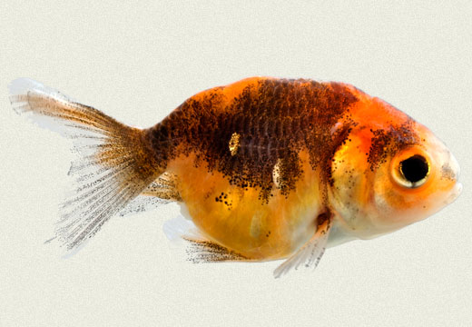 Red & Black Lionhead Fancy Goldfish