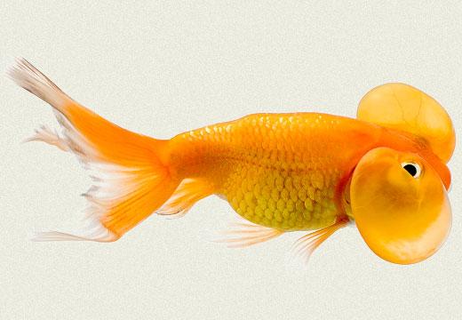 Red Bubble Eye Fancy Goldfish