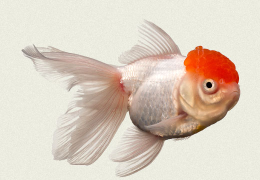 Red Cap Fantail Fancy Goldfish