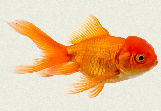 Red Fantail Fancy Goldfish Tropicali