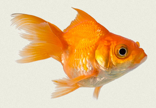 Red Oranda Fancy Goldfish