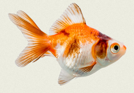 Tricolor Ryukin Fancy Goldfish