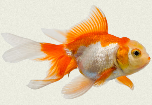 Fantail goldfish - photo#3