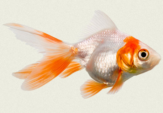 Red & White Ryukin Fancy Goldfish Tropicali