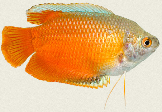 Royal Red Dwarf Gourami