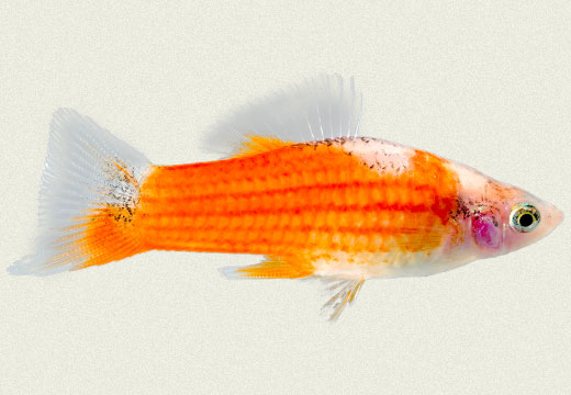 Swordtail Biocolor Red & White Female